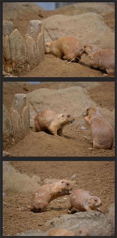 プレーリードッグのけんか@江戸川区自然動物園(2011-4-30撮影)