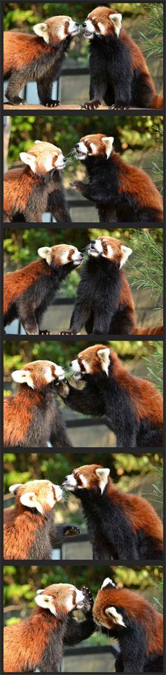 レッサーパンダ「キンタ」と「海」@野毛山動物園(2011-10-26撮影)